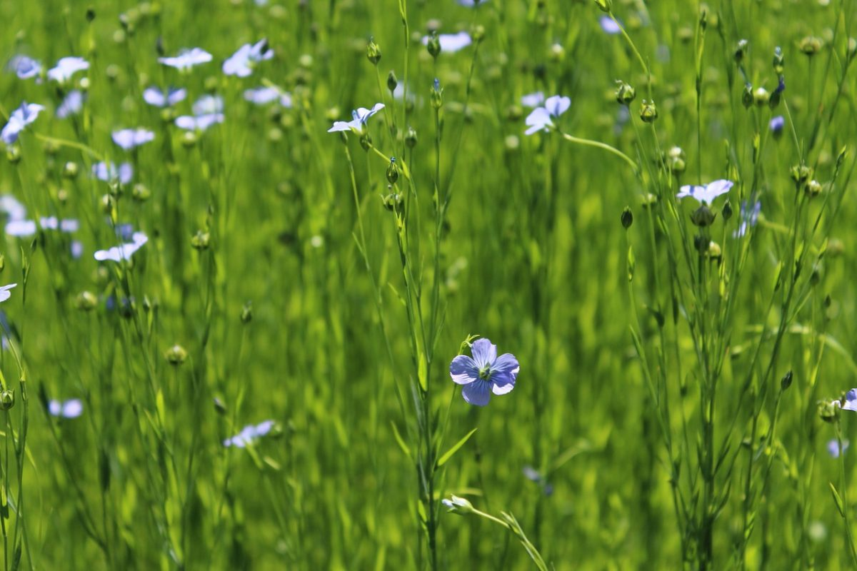 How Linen Fabric Made From Flax Plant | Table Covers Depot